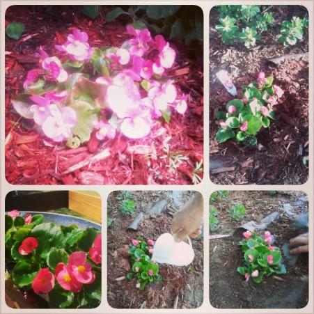 甜美Begonia